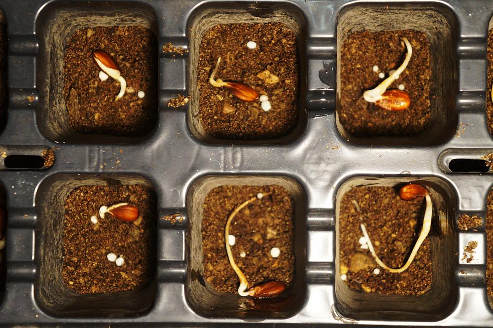 Проращивание семян лаванды